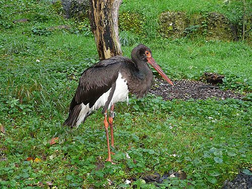 photo Black stork / <span class='cursive'>Ciconia nigra</span>