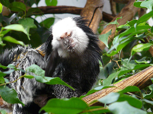 White-fronted marmoset