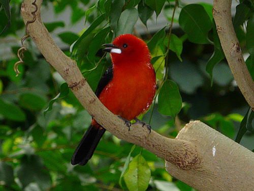 photo Ramphocelus bresilius / Brazilian tanager
