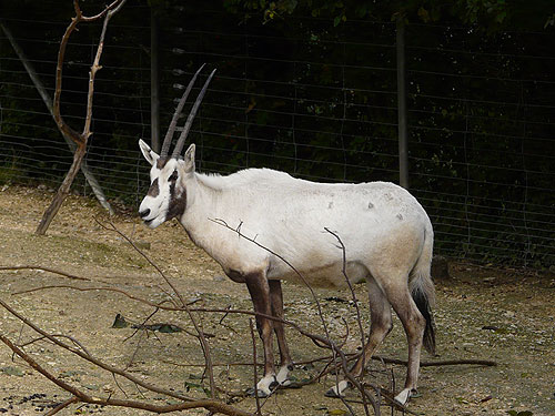 photo Arabian oryx / <span class='cursive'>Oryx leucoryx</span>