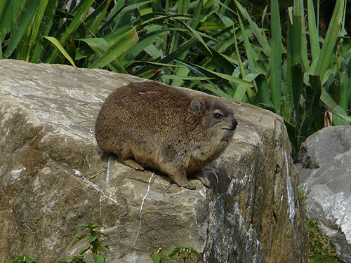 photo Rock hyrax / <span class='cursive'>Procavia capensis</span>