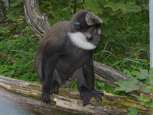 Red-bellied guenon