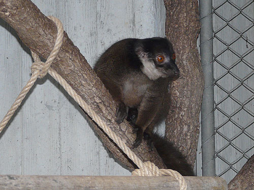 White-collared brown lemur