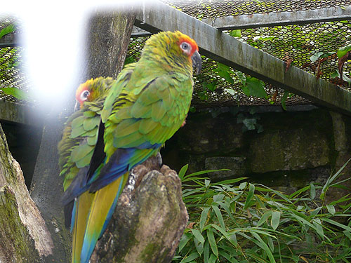 Southern golden-capped conure