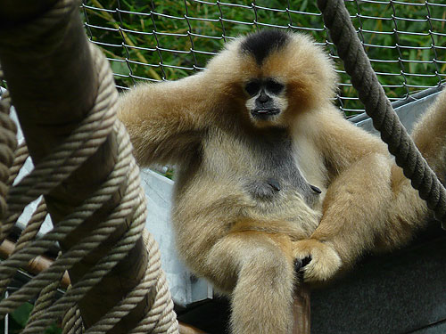 photo Southern white-cheeked gibbon / <span class='cursive'>Nomascus siki</span>