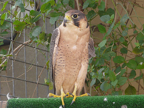 Barbary kestrel