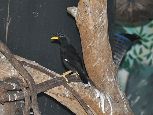 photo White-vented mynah / <span class='cursive'>Acridotheres grandis</span>