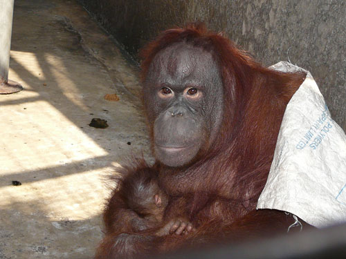 photo Orangutan / <span class='cursive'>Pongo sp.</span>