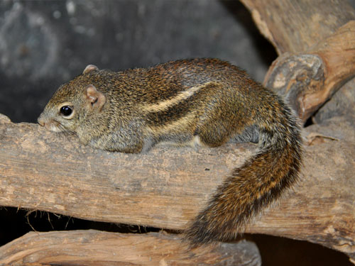 photo Indochinese ground squirrel / <span class='cursive'>Menetes berdmorei</span>