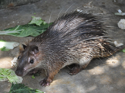 photo Asiatic brush-tailed porcupine / <span class='cursive'>Atherurus macrourus</span>