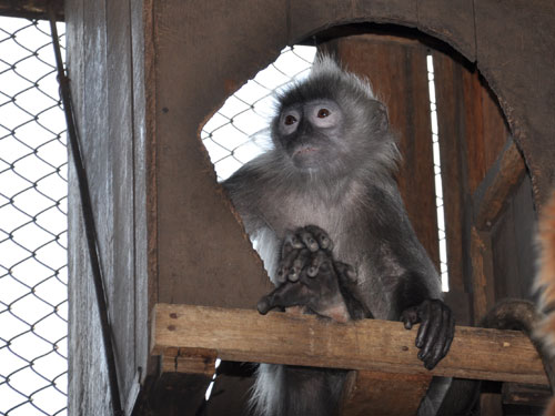 Phayre's leaf monkey