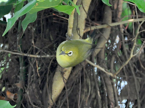 photo Zosterops palpebrosus / Oriental white-eye
