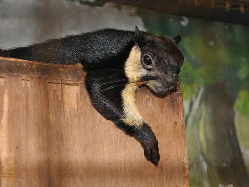 photo Black giant squirrel / <span class='cursive'>Ratufa bicolor</span>