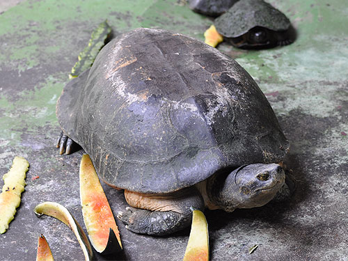 Yellow-headed temple turtle