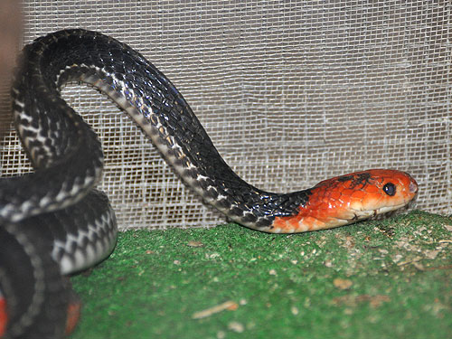 Red-headed krait
