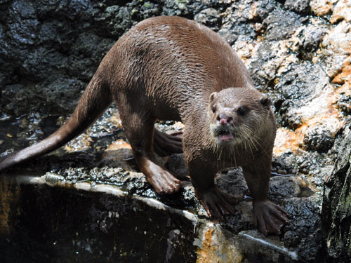 photo Smooth-coated otter / <span class='cursive'>Lutrogale perspicillata perspicillata</span>