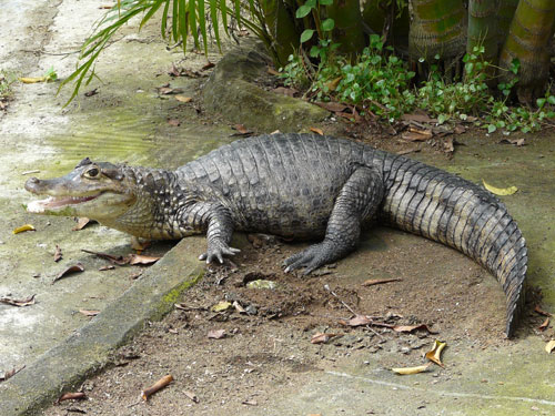 photo Spectacled caiman / <span class='cursive'>Caiman crocodilus</span>