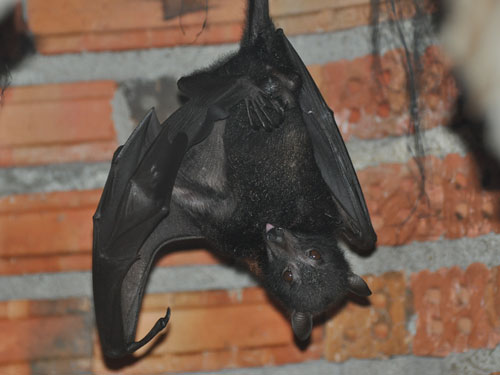 Central flying fox