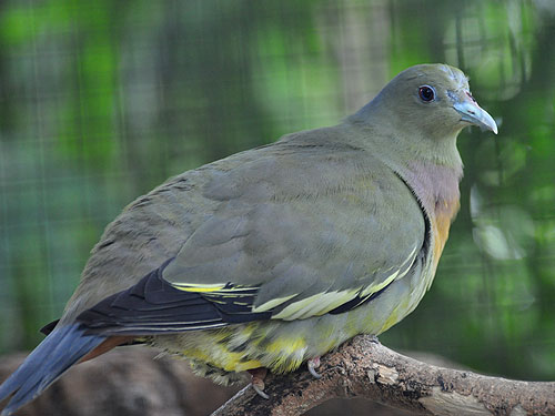 photo Pink-necked green pigeon / <span class='cursive'>Treron vernans</span>