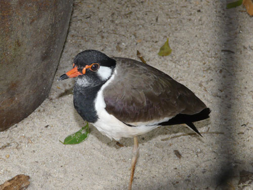 photo Red-wattled lapwing / <span class='cursive'>Vanellus indicus atronuchalis</span>