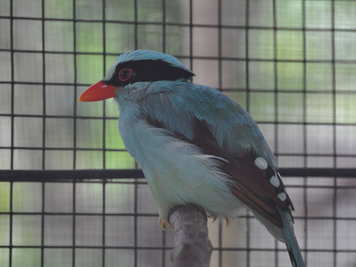 photo Green magpie / <span class='cursive'>Cissa chinensis</span>