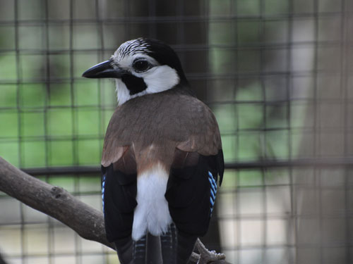 White-faced jay