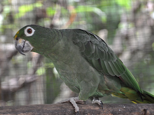 Southern mealy amazon