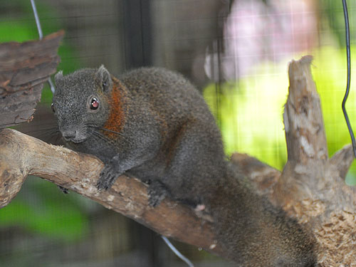 photo Grey-bellied squirrel / <span class='cursive'>Callosciurus caniceps bimaculatus</span>