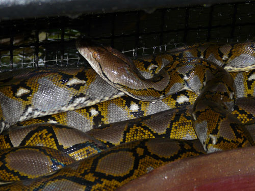 photo Reticulated python / <span class='cursive'>Malayopython reticulatus</span>
