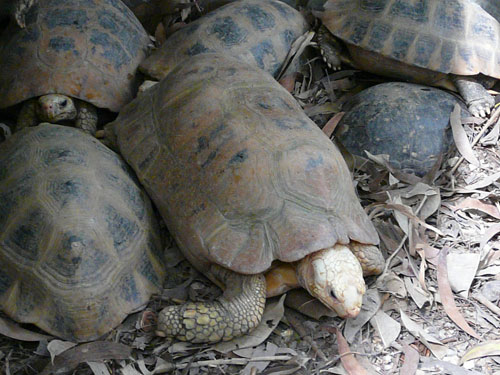 photo Elongated tortoise / <span class='cursive'>Indotestudo elongata</span>