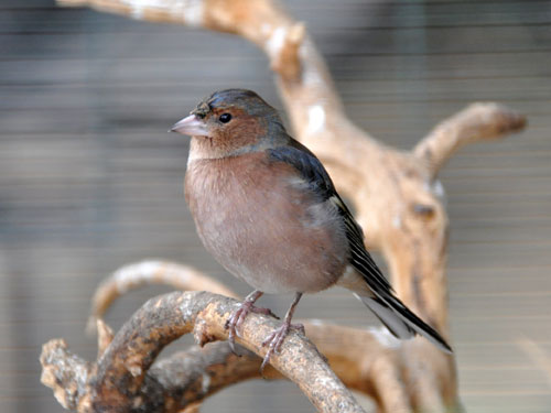 photo Levant chaffinch / <span class='cursive'>Fringilla coelebs syriaca</span>
