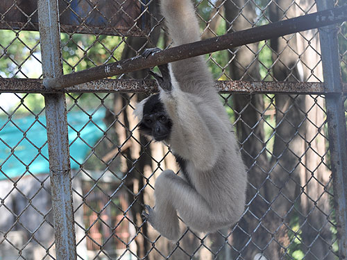 photo Pileated gibbon / <span class='cursive'>Hylobates pileatus</span>