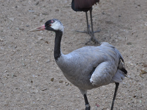 photo <span class='cursive'>Grus grus grus</span> / Common crane
