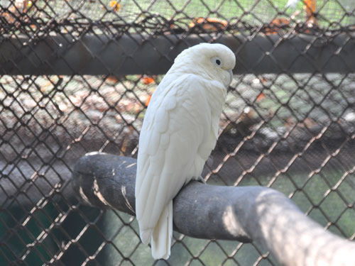 photo Goffin's cockatoo / <span class='cursive'>Cacatua goffiniana</span>