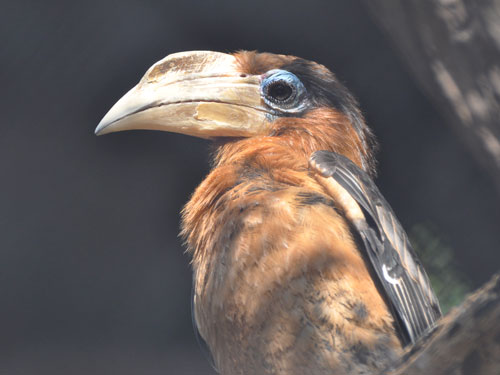 Southern brown hornbill