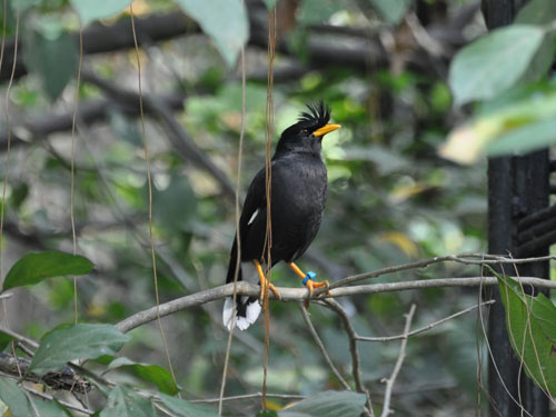 photo Acridotheres grandis / White-vented mynah