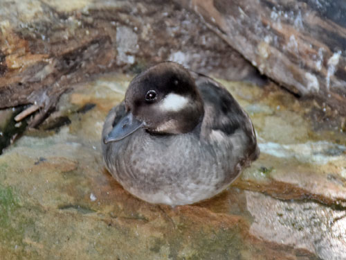 photo Bufflehead / <span class='cursive'>Bucephala albeola</span>