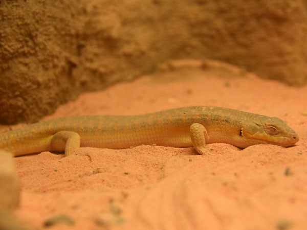 African gold skink