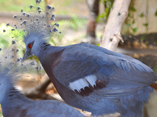 photo Victoria crowned pigeon / <span class='cursive'>Goura victoria</span>
