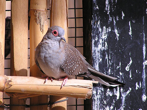 photo <span class='cursive'>Geopelia cuneata</span> / Diamond dove