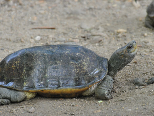 photo Giant Asian pond turtle / <span class='cursive'>Heosemys grandis</span>
