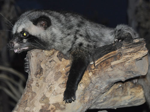 Common palm civet