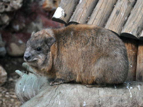 photo Rock hyrax / <span class='cursive'>Procavia capensis syriaca</span>