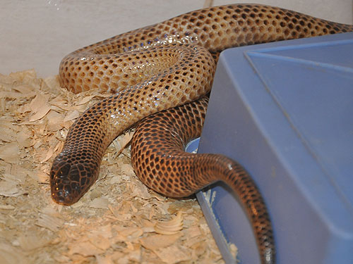 photo Ikaheka snake / <span class='cursive'>Micropechis ikaheka</span>