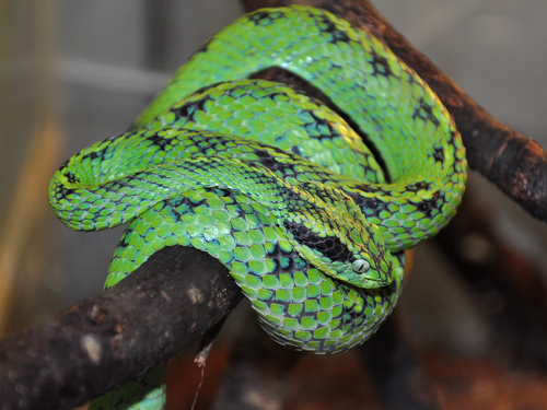photo Yellow-blotched palm pitviper / <span class='cursive'>Bothriechis aurifer</span>