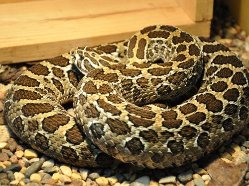 photo Mexican lance-headed rattlesnake / <span class='cursive'>Crotalus polystictus</span>