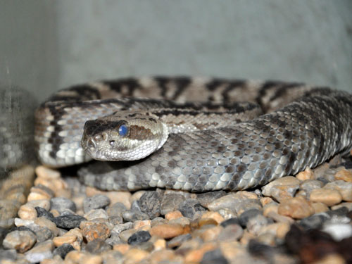 photo Black-tailed rattlesnake / <span class='cursive'>Crotalus molossus molossus</span>