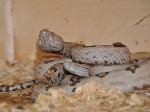 photo Tokaren pitviper / <span class='cursive'>Protobothrops tokarensis</span>
