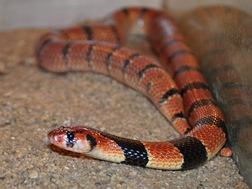 Cape coral snake