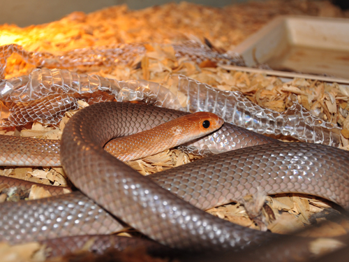 Red-spotted beaked snake